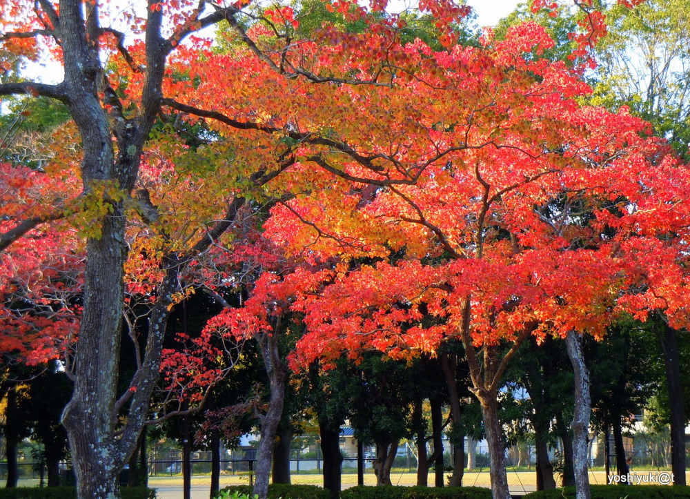 Chinese tallow trees displaying their colours