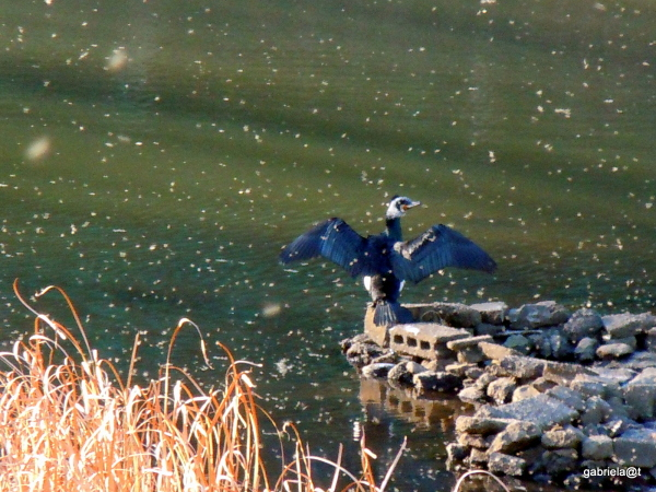 Cormorant sunning by the pond