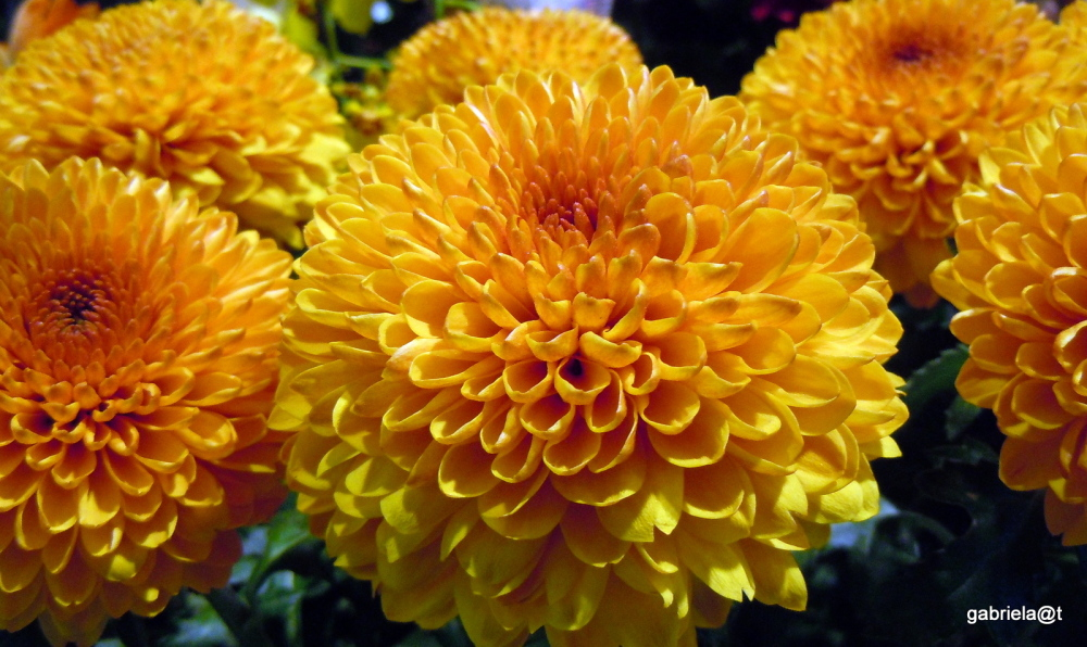 Chrysanthemums at the florist's