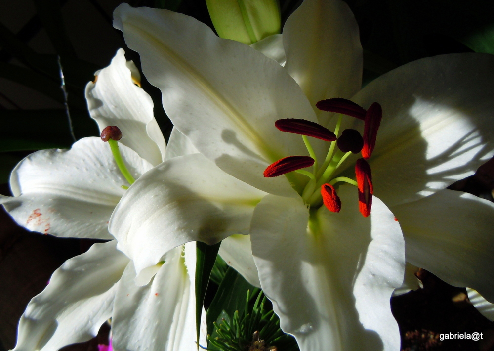 Lilies for winter days