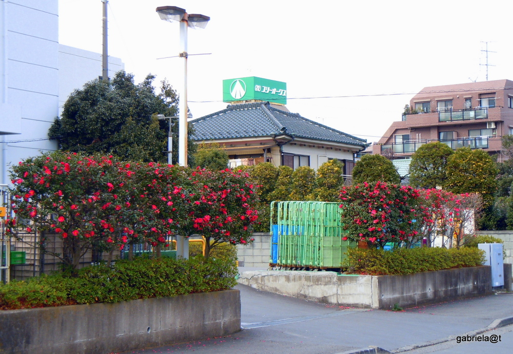 Camellia trees decorate the back of a store