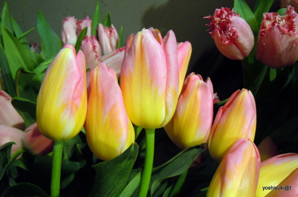 Tulips touched by gold are blushing