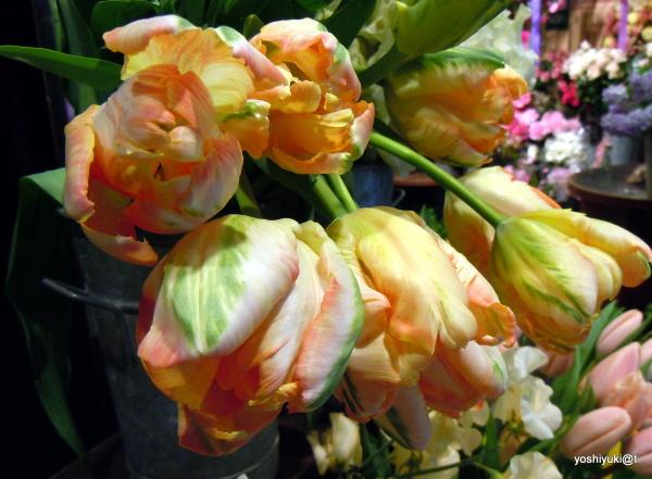 Parrots-like-tulips