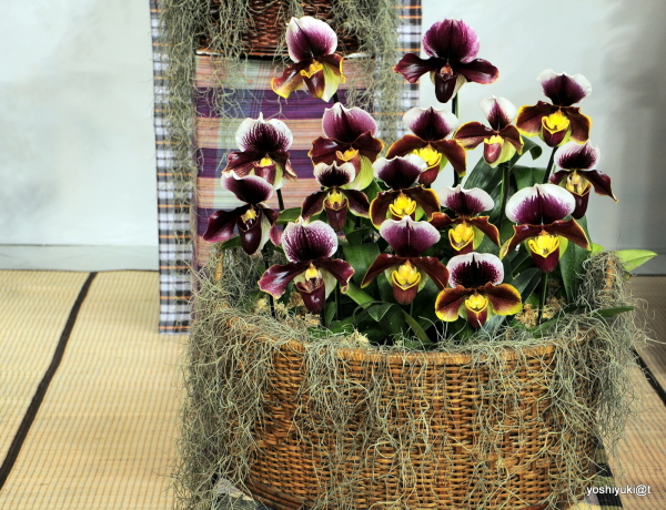 A basketfull of Slipper Orchids