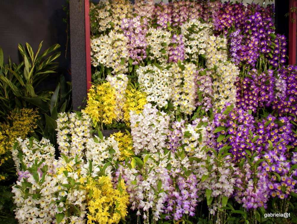 A wall of colourful Dendrobiums