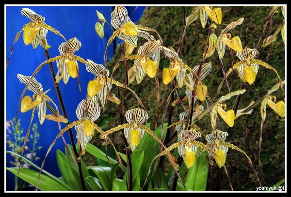 Slipper orchids, peak of season, in spring