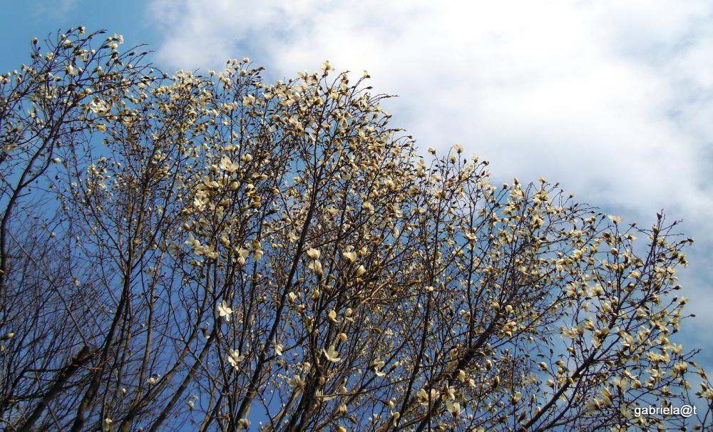 Magnolia in bloom again