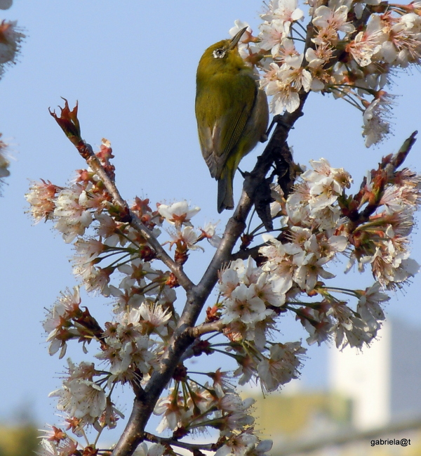 Japanese White Eye feeding among flowers