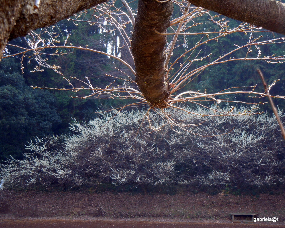 The blossoming trees below the pine grove