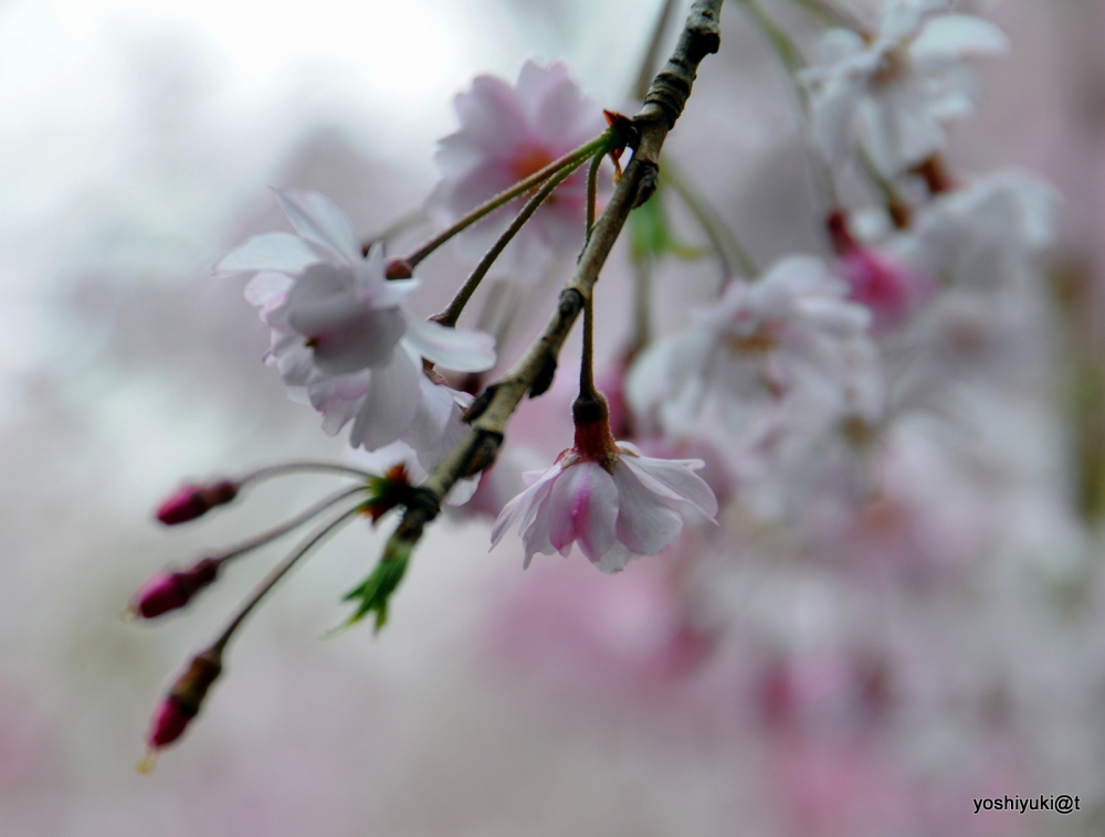 Cherry blossoms in spring light