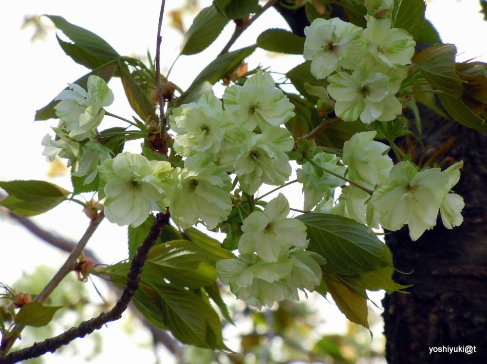 "Variety of sakura (ukon-zakura ""Gyoki"")"