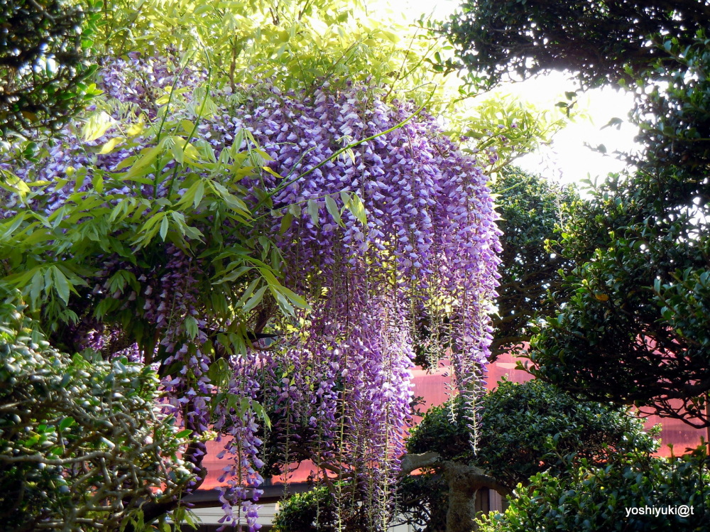 Wisteria blooming in the garden