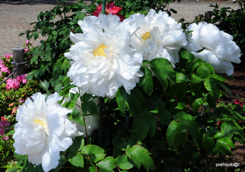 White tree peonies in bloom