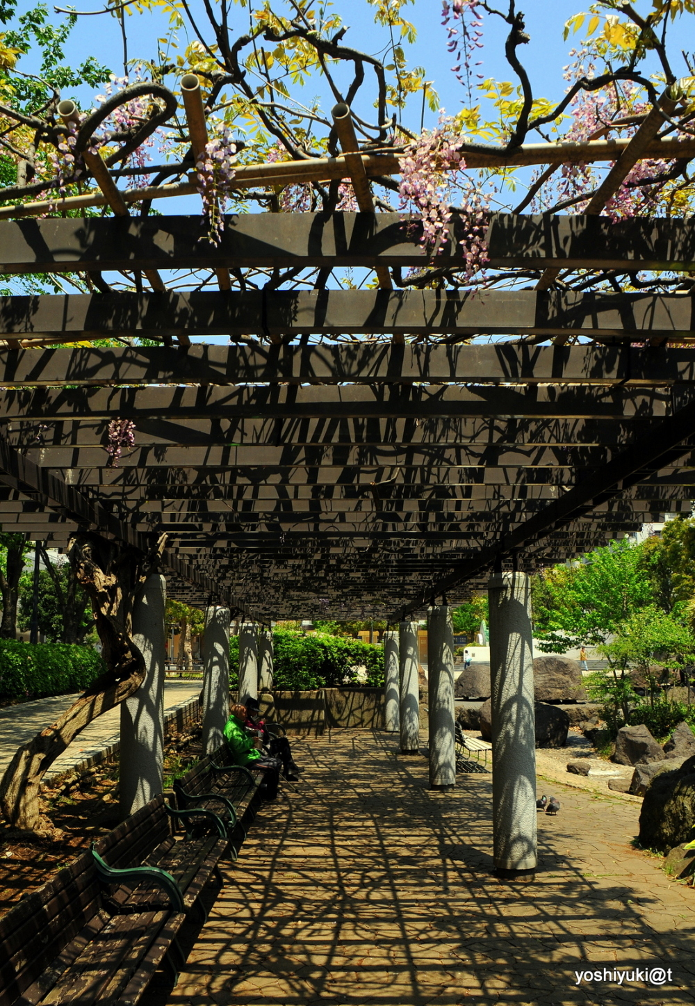 Under the pergola with old wisterias