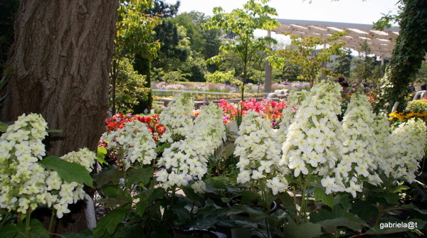Oakleaf Hydrangeas at the Flower Center