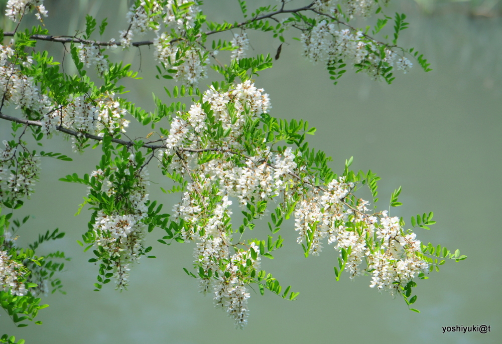 Blooming clusters of acacia