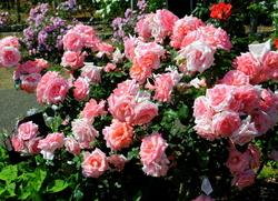 Little tree full of roses