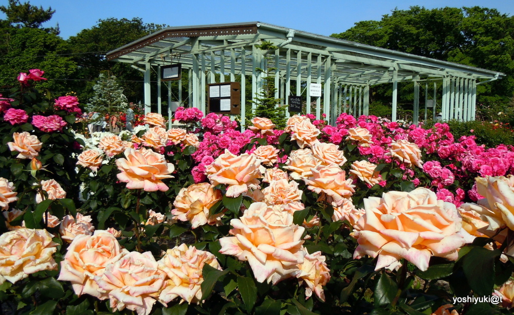 Rose garden at Ofuna Flower Center, Kanagawa