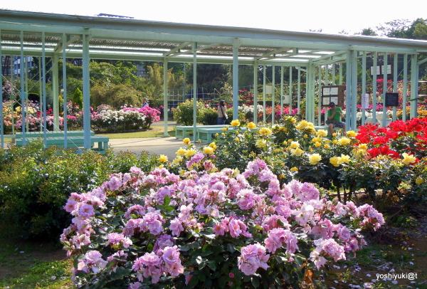 Rose garden at Ofuna Flower Center, Kanagawa