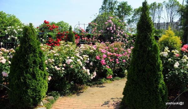 Path in the rose garden, Ofuna Flower Center