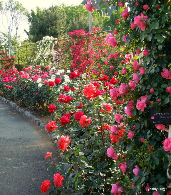 "Roses ""Leonardo da Vinci"""