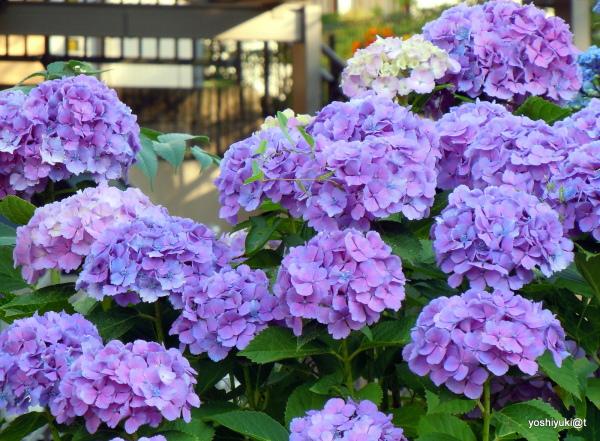 Hydrangeas blooming at their best