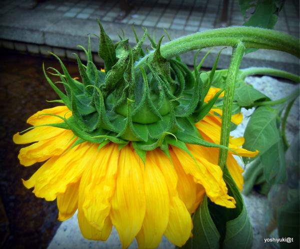 Even sunflowers fall asleep