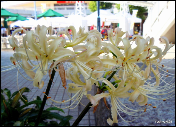 Spider lilies blooming on the market day