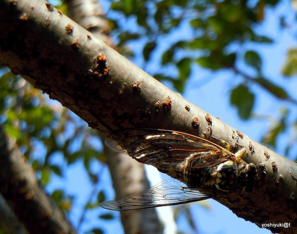 Cicadas are still making noise