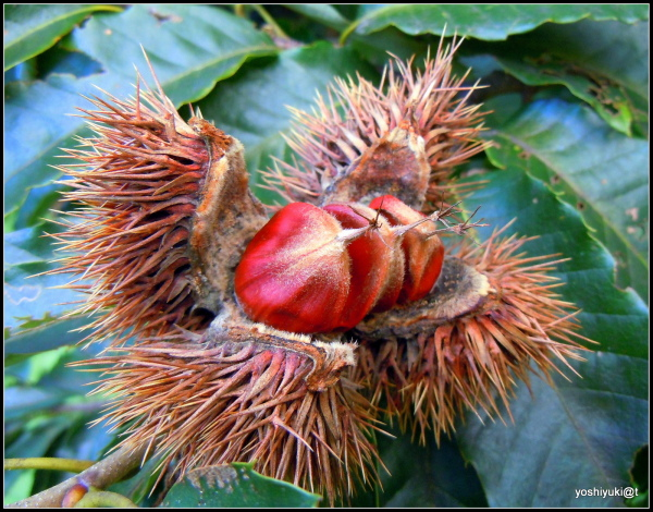 Edible chestnuts still on the branch