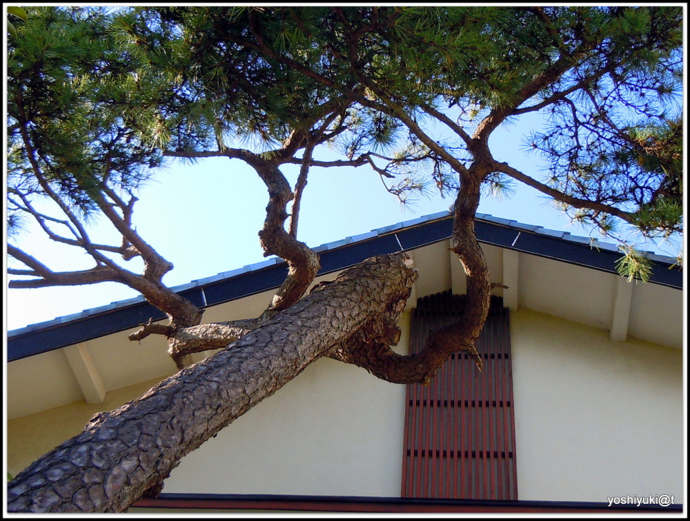 Pinetree leaning toward the building