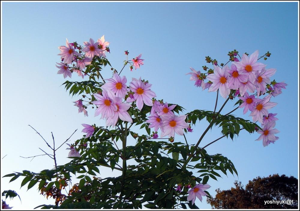 Emperor Dahlia blooming in November