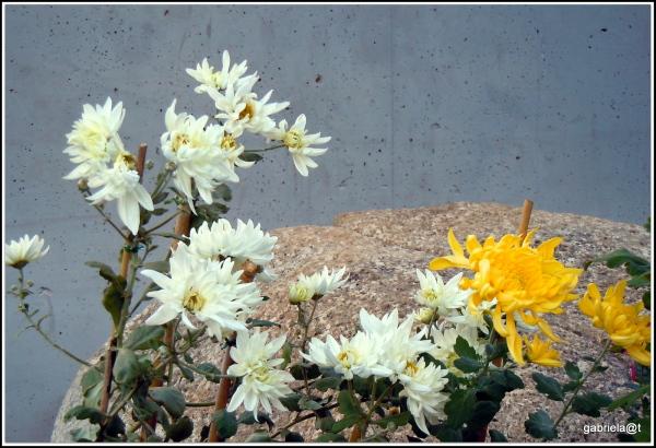 Chrysanthemums in the community garden