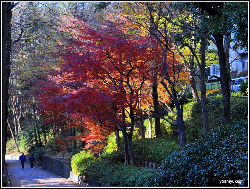 A walk under the Japanese maple trees