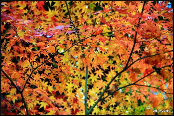 Maple trees make a tapestry