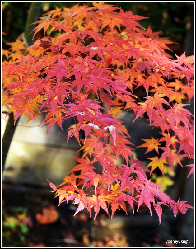 Leaning branch of a Japanese maple tree
