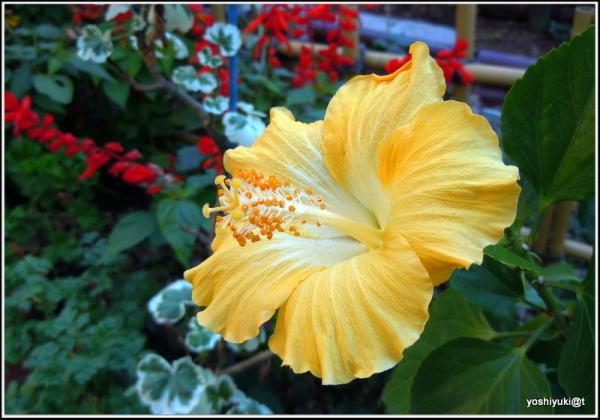 Yellow hibiscus blooming in November