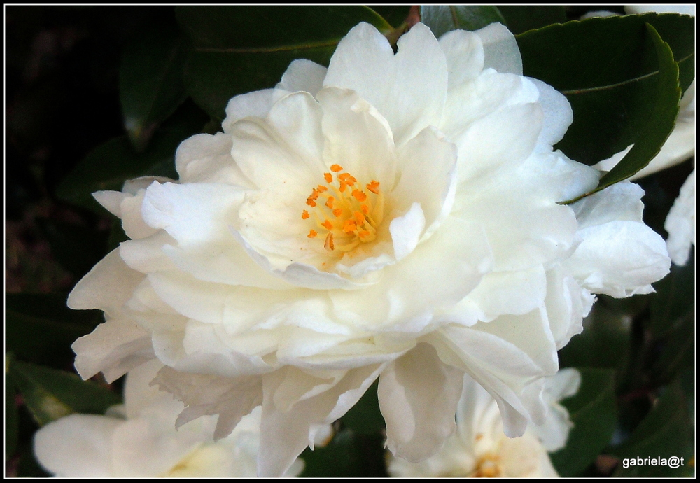 A white camellia for  2014