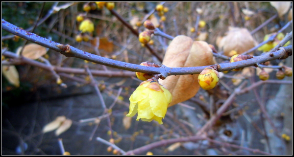 Wintersweet is in bloom