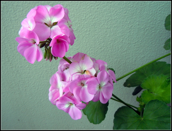 My geranium this winter