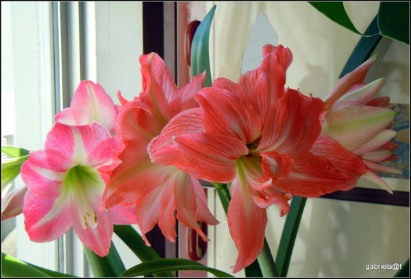 My amaryllises in bloom