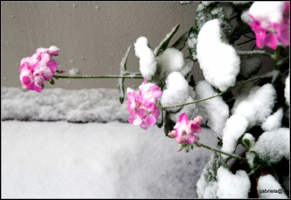 Geraniums under snow on my balcony
