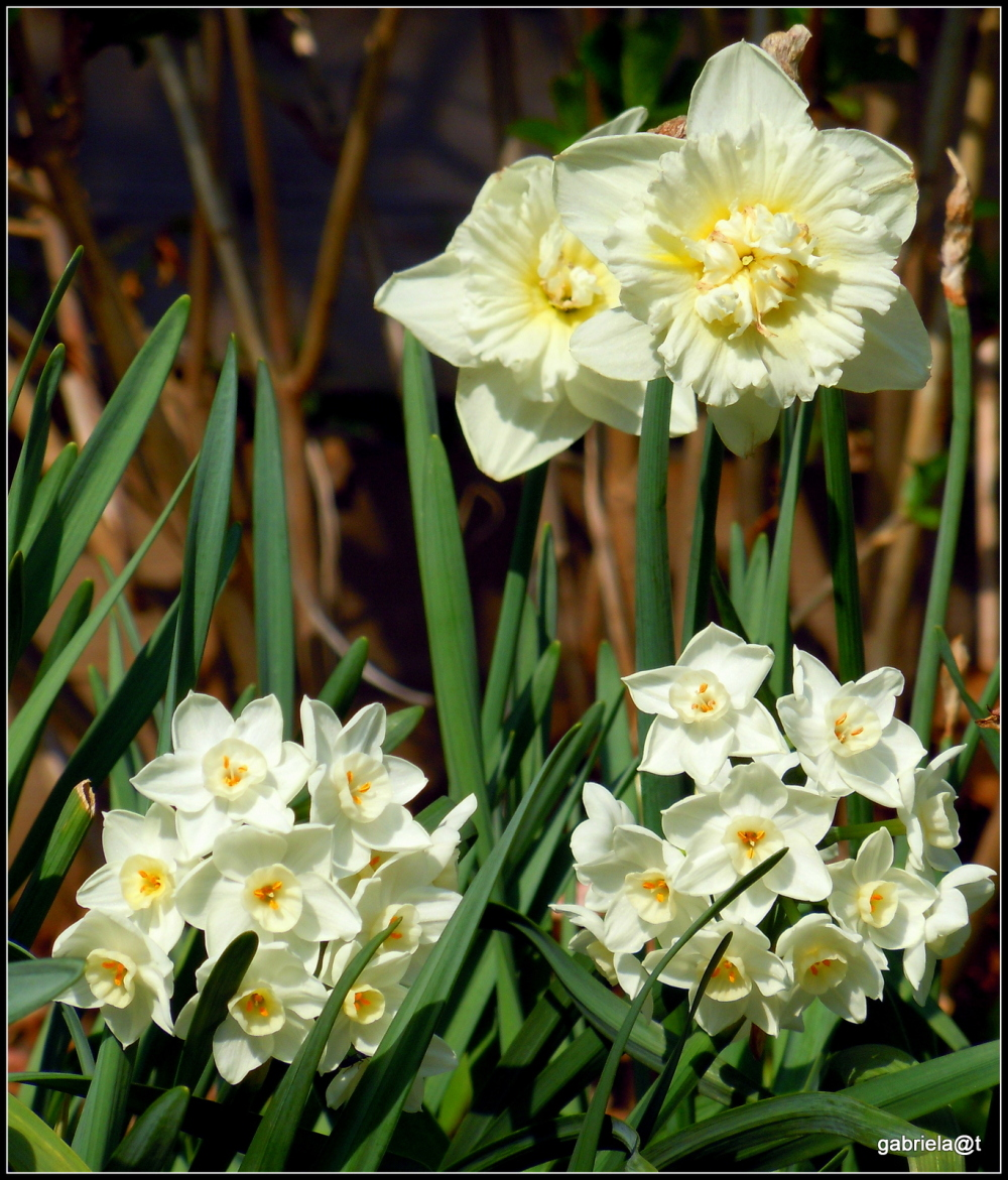 Narcissi and daffodils