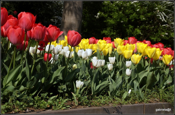 A few beds of colourful tulips