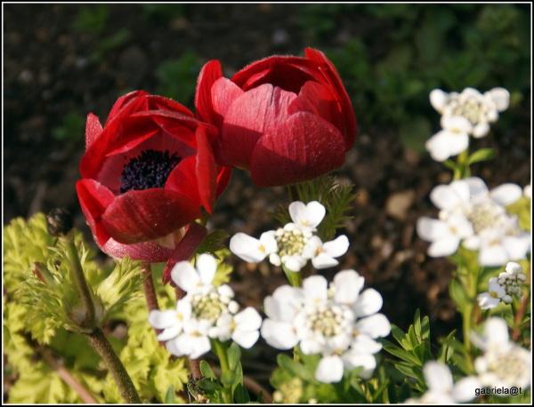 Anemone in the garden