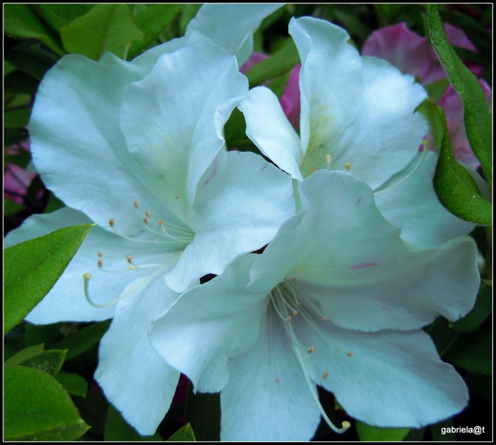 White azaleas - a closeup