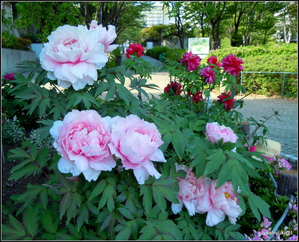 Tree peonies - the pink variety