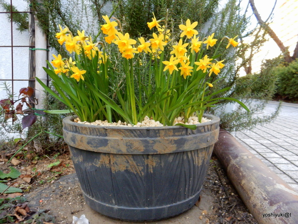 A bucket full of trumpet daffodils