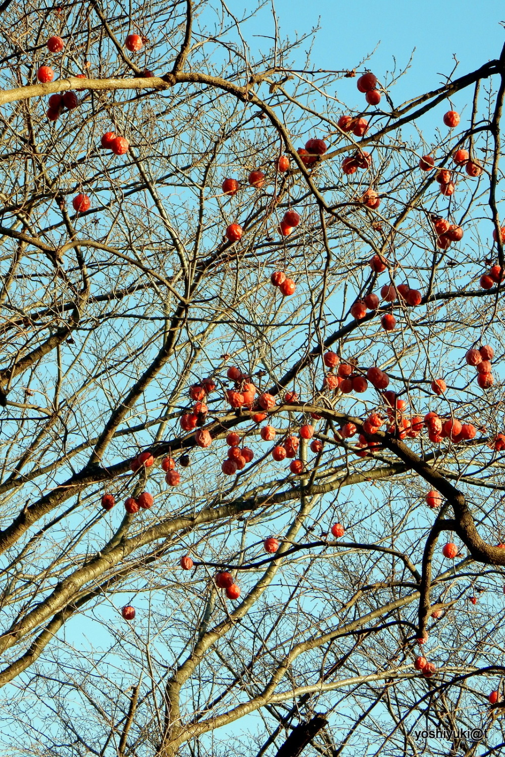 Persimmons left on trees for birds