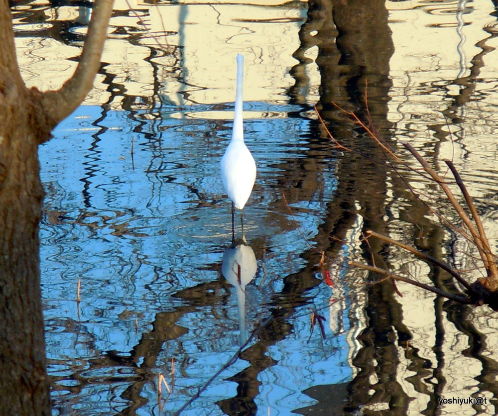 White heron on the pond in January